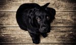 Black Color Dog