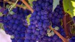 Blue Grapes Fruits