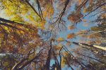 Looking Up At Tall Trees In A Forest