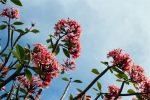 Pink Temple Flower Tree