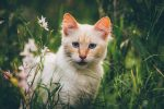 A white cat with orange ears.