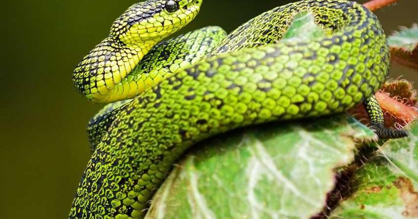 The Snake Diet