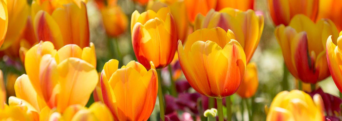 Tulips in Bloom at Cheekwood