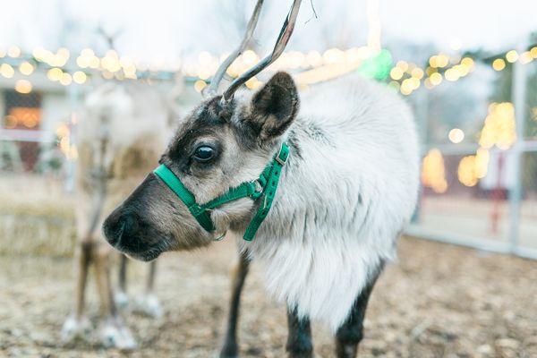 reindeer