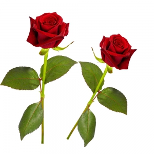 Romantic Fresh Beautiful Red Rose Pair Special Valentine Gift  DLV5FLW602