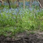 Blue_flowers