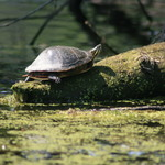 Painted_turtle___skokie_-cs