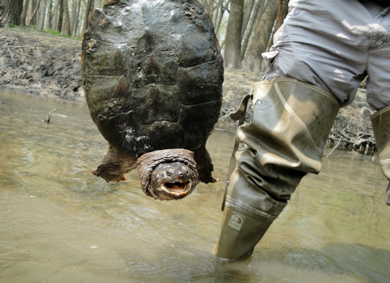 Snapping_turtle_at_miami_woods_-_web