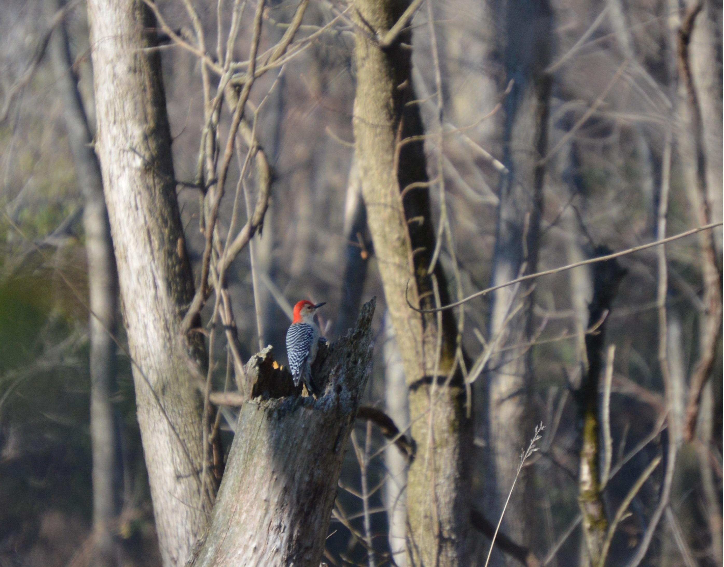 Seedingbird