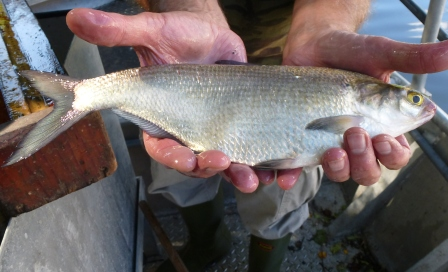 White_bass_for_web