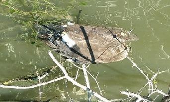 Dead_duck_8-17_-_web