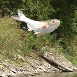 Asian_carp_vertical