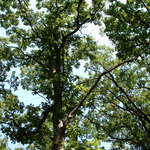 Mcclaughry_oak_canopy082