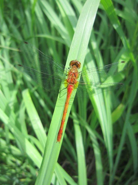 Dragonfly_middlefork_savanna_gallery