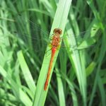 Dragonfly_middlefork_savanna_gallery