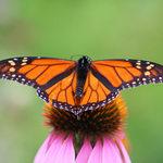 Monarch-20butterfly-202