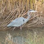 Great_blue_heron_public_domain