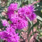 Ironweed_aug_2009_ryan_field_(2)