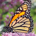 Monarch_wings_up