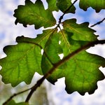 Oak_tree_leaves_-_public_domain