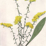 Goldenrod_drawing_-_public_domain