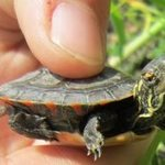 Baby_painted_turtle_cropped