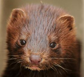 Mink_young_baby_portrait