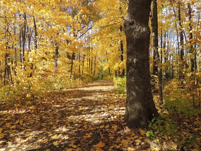 Oak_oak_tree_autumn