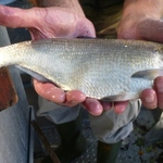 White_bass_for_web2