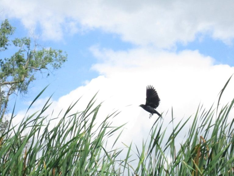 Red-winged_blackbird_claire_gallery