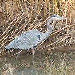 Great_blue_heron_public_domain_web_small