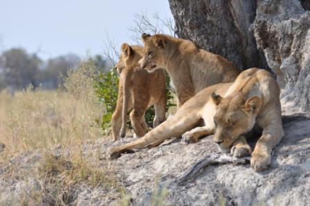 Botswana_lions_-_web