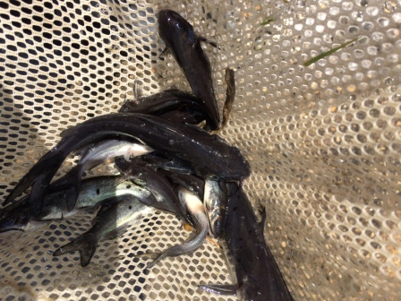 Catfish_5-17-16_-_web