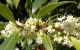 Guilin: The Forest of Osmanthus