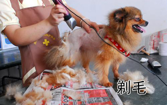 Shaven Dog