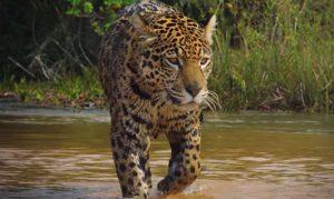 Tigre video