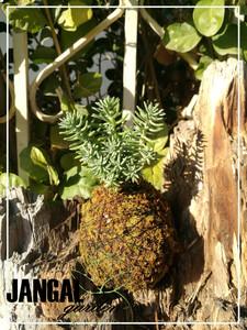 Suculenta pino