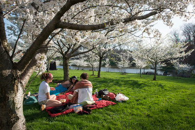 Students sitting under a cherry blossom tree