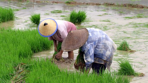sulawesi-ricefields