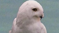 Cropped_thumb_canadian_geographic_hibou