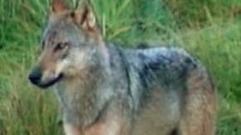 Cropped_thumb_canadian_geographic_loup