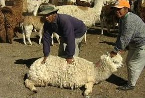 Thumb_2091_gens_terre_ii_laine_moutons_alpagas