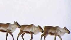 Cropped_thumb_terres_arctique_or_caribou