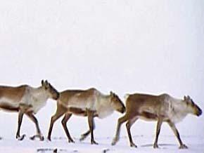 Thumb_terres_arctique_or_caribou