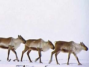 Thumb_terres_arctique_or_caribou