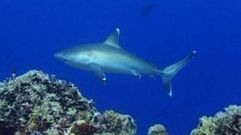 Cropped_thumb_2435_requins_nettoyeurs_lagon3