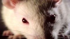Cropped_thumb_2166_vie_revee_des_rats