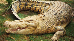Cropped_thumb_or_sauvage_crocodile