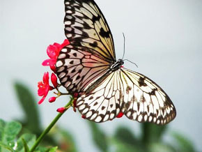 Thumb_or_sauvage_papillons