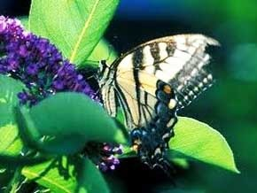 Thumb_biodiversite_papillons